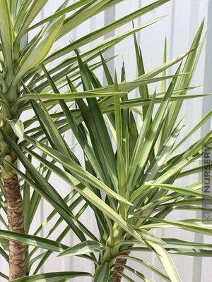 大连装修装饰室内植物推荐:荷兰铁