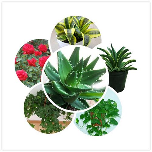 吸收甲醛的植物