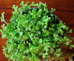 梅雨季节也耐阴的室内植物,生命力顽强好打理!